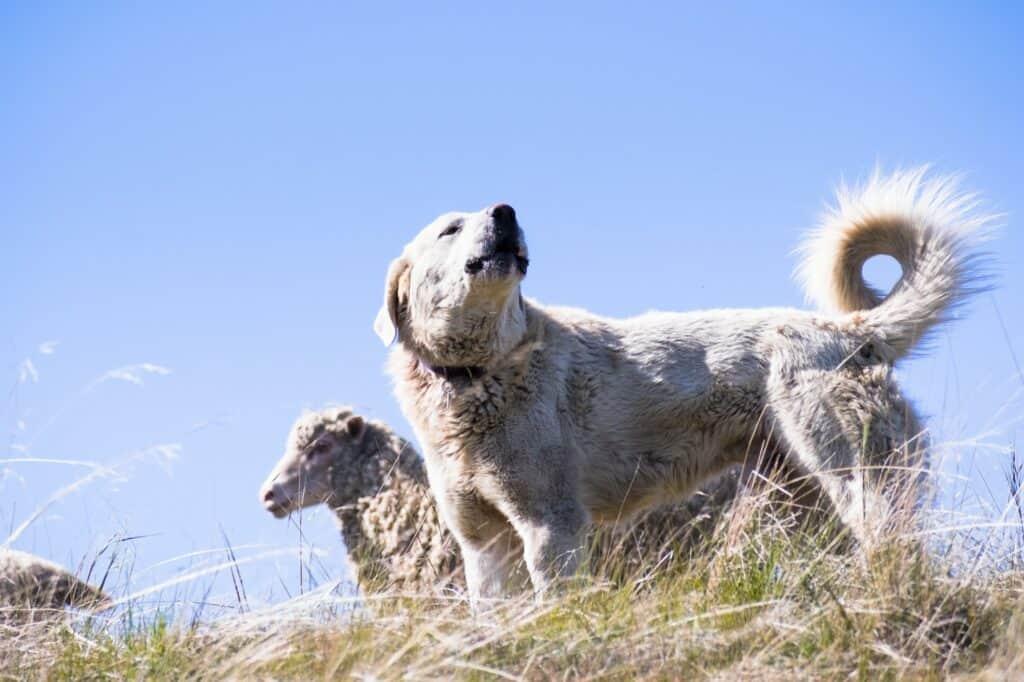 Akbash dog guarding a sheep herd