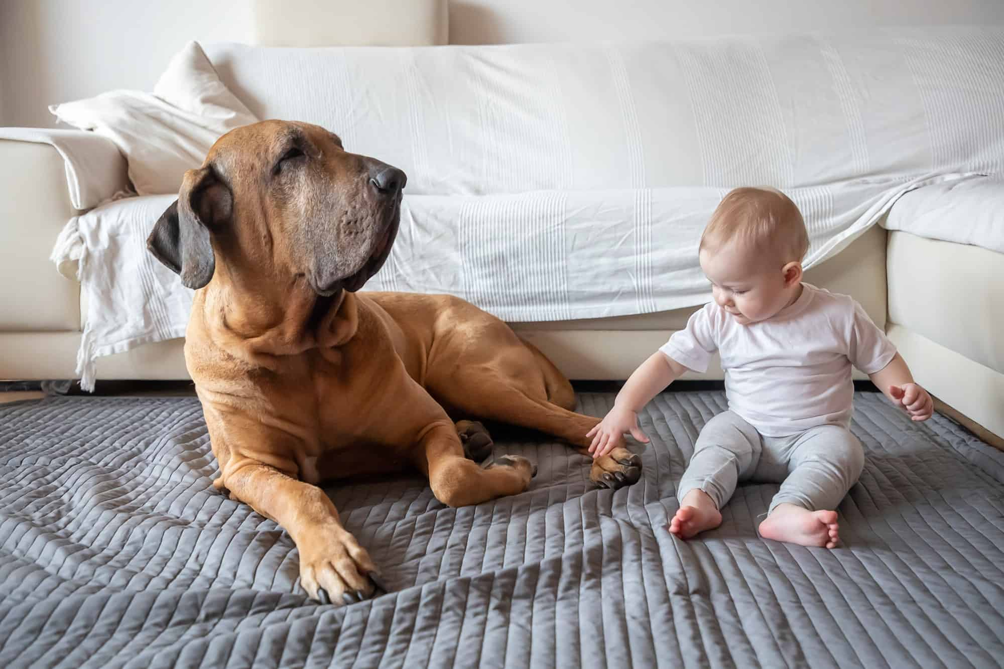 Little girl playing with big dog in home living room in white color. Dog is fila brasileiro breed.