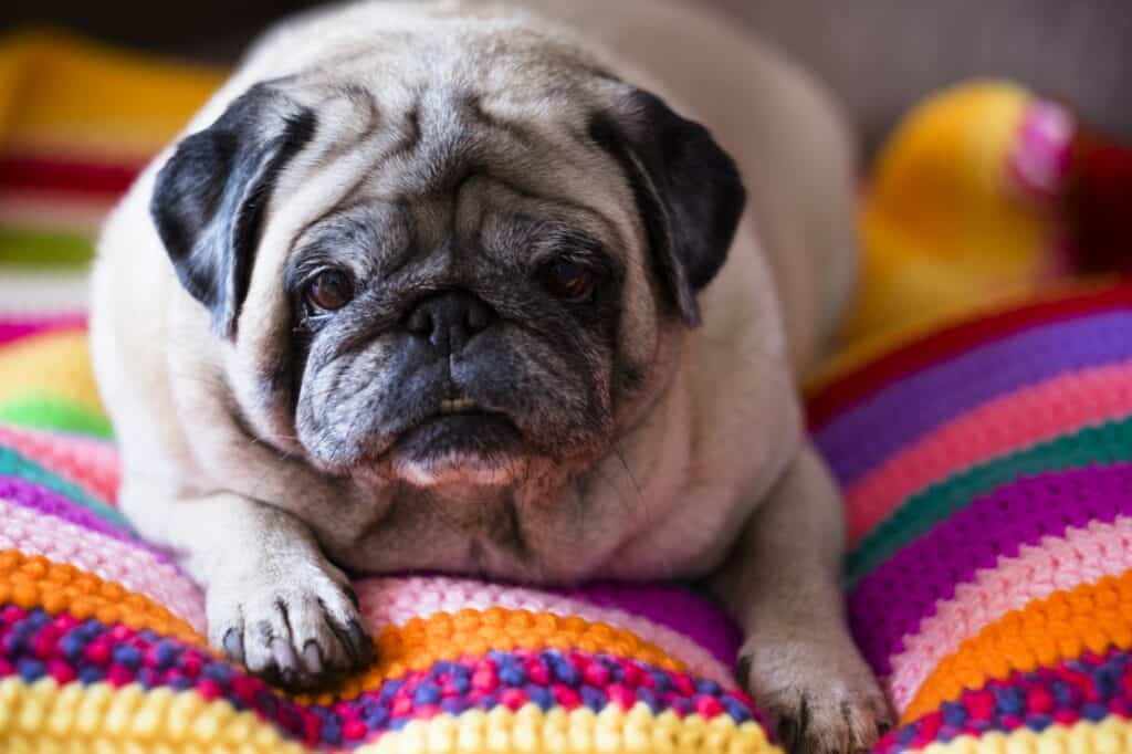 Nice angry dog pug relaxing lazy on a coloured hand made crochet blanket at home