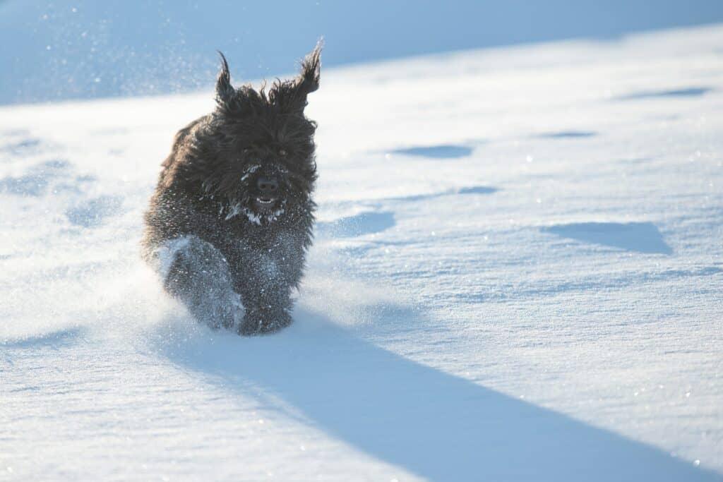 Big black Bergamo sheepdog