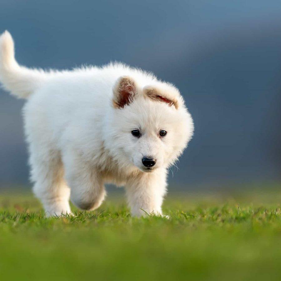 Puppy cute White Swiss Shepherd dog portrait on meadow